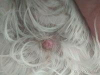 Sarpullidos en perros, Shih Tzu