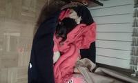 Fiebre en perros, Pinscher miniatura