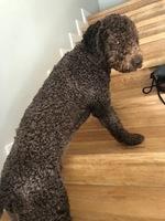 Falta de pelo alrededor de los ojos en perros, Perro de agua español
