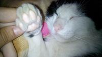 Pérdida de peso o adelgazamiento en gatos, Bobtail japonés