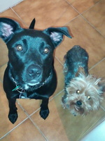 Diarrea en perros, Pit bull