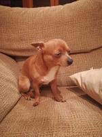 Dobby, mi perro chihuahueño macho, tiene babeo excesivo o espuma blanca por la boca, letargo y temblores