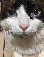 Ojos entrecerrados en gatos, Ragdoll