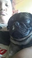 Fiebre en perros, Pug