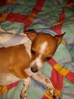 Temblores en perros, Chihuahueño