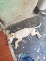 Debilidad en perros, Labrador
