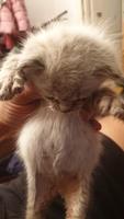 Dolor abdominal o de estómago en gatos, Europeo de pelo corto