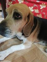 Nubes o película transparente blanca en los ojos en perros, Beagle