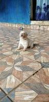 Neblina azul o grisácea en los ojos en perros, Chow chow
