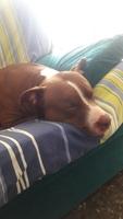 Cansancio o fatiga en perros, Pit bull