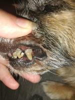 Princesa, mi perro cruce hembra, tiene mal apetito, encías inflamadas y sarro en los dientes
