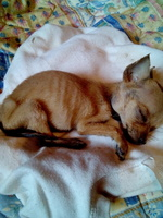 Mimi, mi perro chihuahueño hembra, tiene mal apetito, letargo y encías blancas o pálidas