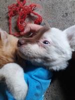 Bailey, mi perro cruce de chow chow hembra, tiene debilidad, secreción nasal verdosa y ataque epiléptico