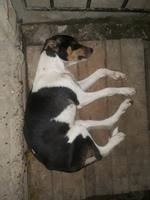 Deshidratación en perros, Airedale terrier