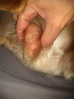 Papi, my male dog english cocker spaniel, has hard skin on the paws (hyperkeratosis) and testicular swelling