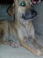 Lucas, mi perro pit bull macho, tiene mal apetito y sangrado de nariz