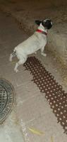 Incontinencia en perros, Bulldog francés