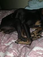 Desánimo, decaído, triste, depresión en perros, Pinscher miniatura