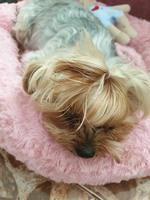 Kitty, mi perro yorkshire terrier hembra, tiene abdomen inflamado y vómito