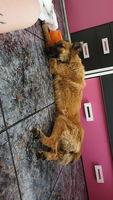 Gorda, mi perro pastor belga hembra, tiene mal apetito, babeo excesivo o espuma blanca por la boca y deshidratación