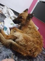 Desánimo, decaído, triste, depresión en perros, Pastor belga