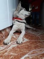 Enrojecimiento de la piel en perros, Husky siberiano