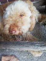 Diarrea en perros, Pudelpointer