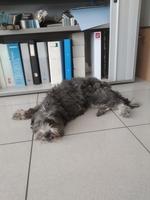 Debilidad en perros, Chihuahueño