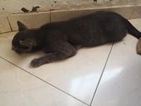 Dificultad al caminar o levantarse en gatos, Korat