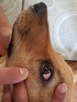 Ojos rojos en perros, Desconocida
