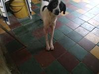 Bruno, mi perro desconocida macho, tiene picor y rascarse, enrojecimiento orejas y mal olor en la oreja