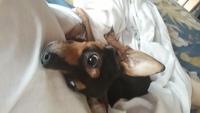 Tobby, mi perro pinscher alemán macho, tiene vómito, vómito con sangre y debilidad