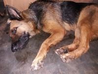 Cloy, mi perro pastor alemán hembra, tiene vómito, sed excesiva y dificultad al tragar