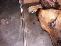 Desánimo, decaído, triste, depresión en perros, Pastor alemán