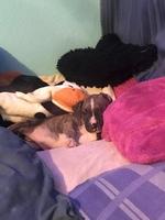 Zeúz, mi perro bóxer macho, tiene vómito, gruñe y flemas