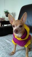 Dolor al tacto en perros, Chihuahueño