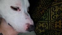 Khalessy, mi perro cruce de pit bull hembra, tiene inflamación boca