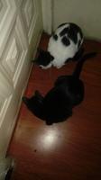 Dificultad al caminar o levantarse en gatos, Van turco