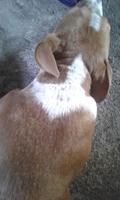 Rocky, mi perro cruce de pit bull macho, tiene pérdida de pelo, picor y rascarse y úlceras en la piel