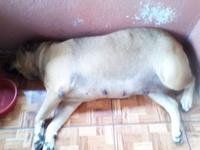 Kayla, mi perro cruce de labrador hembra, tiene mal apetito, fluido vaginal blanquecino o verdoso y vagina abultada o inflamada