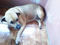 Apatía en perros, Labrador