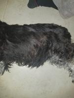 Tasha, mi perro schnauzer miniatura hembra, tiene mal apetito, garrapatas y apatía