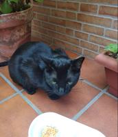 Mal apetito en gatos, Común europeo