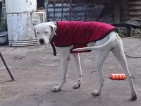 Blanca, mi perro dogo argentino hembra, tiene pérdida de peso o adelgazamiento y desánimo, decaído, triste, depresión