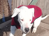 Desánimo, decaído, triste, depresión en perros, Dogo argentino