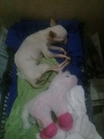 Nikky, mi perro chihuahueño hembra, tiene pérdida de peso o adelgazamiento, encías inflamadas y mal aliento