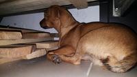 Muñeca, mi perro cruce de pekinés hembra, tiene vómito verde
