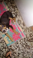 Garrapatas en perros, Beagle