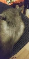 Pérdida de pelo en gatos, Persa tradicional