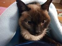 Mino, mi gato siamés macho, tiene babeo excesivo o espuma blanca por la boca, encías inflamadas y dolor al comer